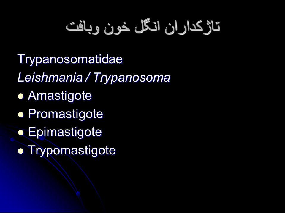 تاژکداران انگل خون وبافت Trypanosomatidae Leishmania / Trypanosoma Amastigote Amastigote Promastigote Promastigote Epimastigote Epimastigote Trypomastigote Trypomastigote