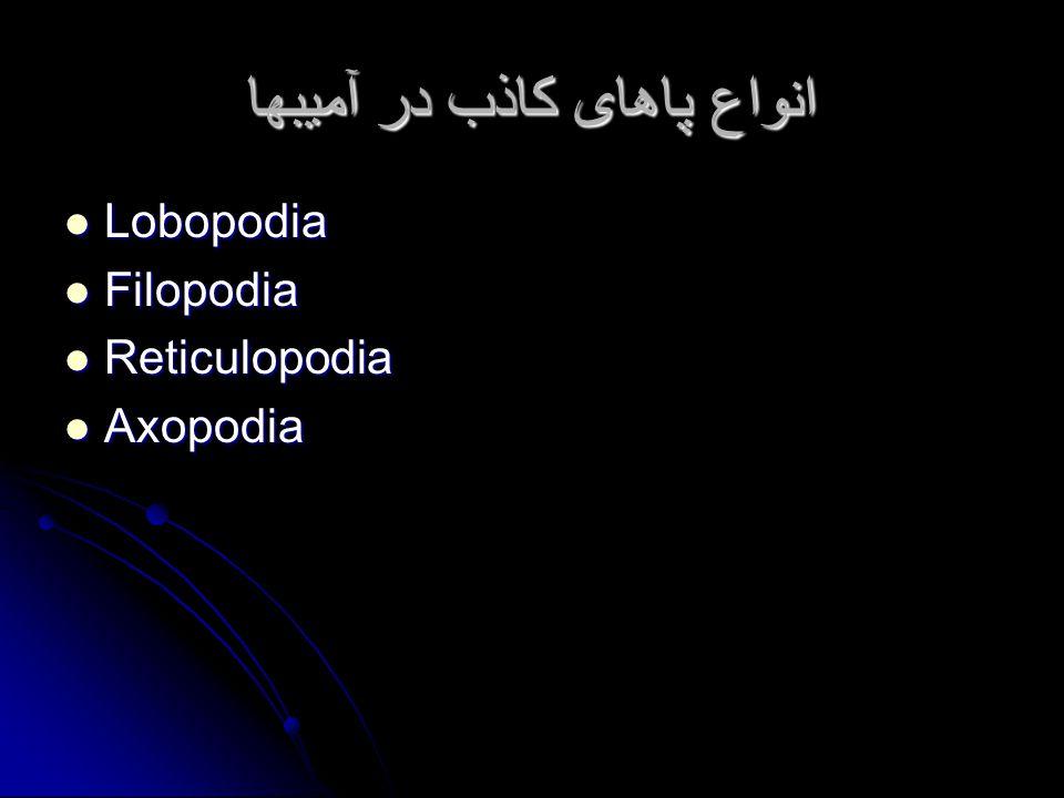 انواع پاهای کاذب در آمیبها Lobopodia Lobopodia Filopodia Filopodia Reticulopodia Reticulopodia Axopodia Axopodia