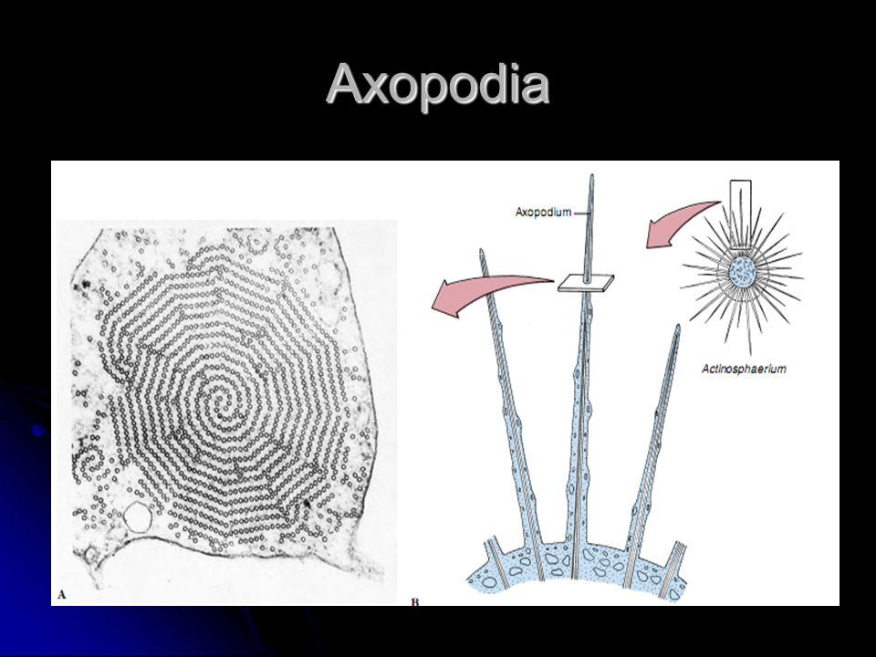 Axopodia