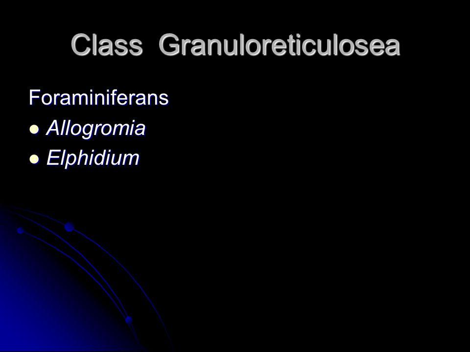 Class Granuloreticulosea Foraminiferans Allogromia Allogromia Elphidium Elphidium