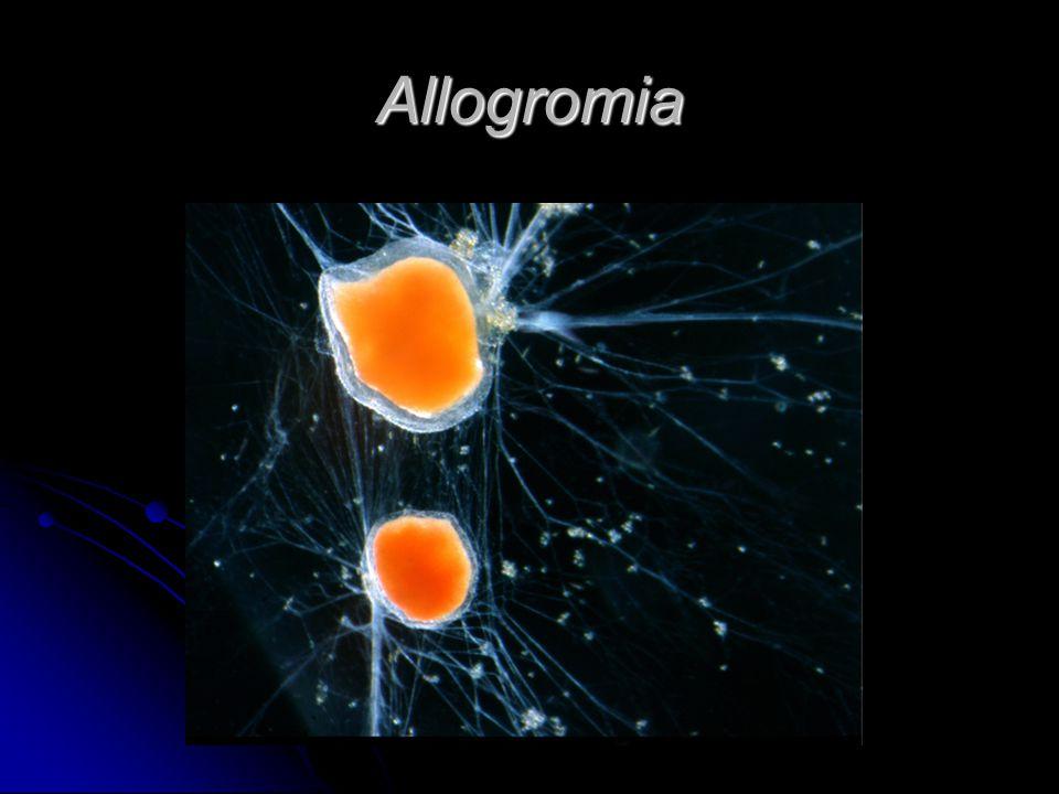 Allogromia