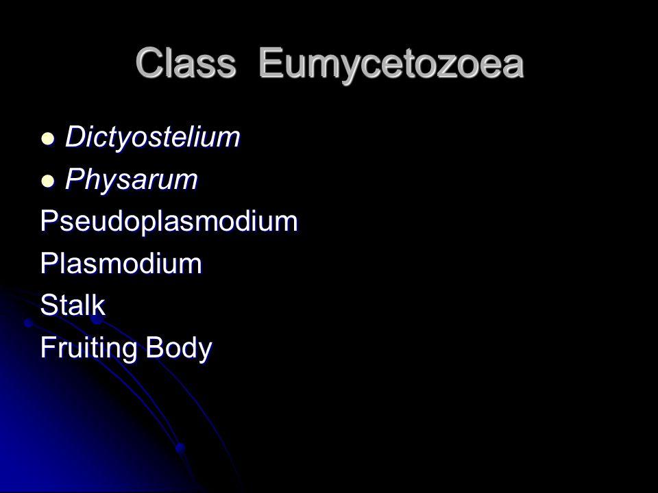 Class Eumycetozoea Dictyostelium Dictyostelium Physarum PhysarumPseudoplasmodiumPlasmodiumStalk Fruiting Body