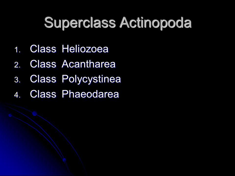 Superclass Actinopoda 1. Class Heliozoea 2. Class Acantharea 3.