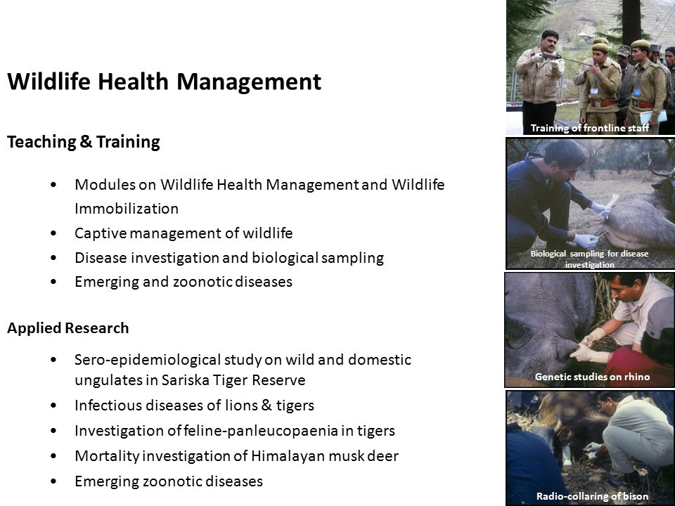 Wildlife Health Management Teaching & Training Modules on Wildlife Health Management and Wildlife Immobilization Captive management of wildlife Disease investigation and biological sampling Emerging and zoonotic diseases Applied Research Training of frontline staff Sero-epidemiological study on wild and domestic ungulates in Sariska Tiger Reserve Infectious diseases of lions & tigers Investigation of feline-panleucopaenia in tigers Mortality investigation of Himalayan musk deer Emerging zoonotic diseases Genetic studies on rhino Biological sampling for disease investigation Radio-collaring of bison