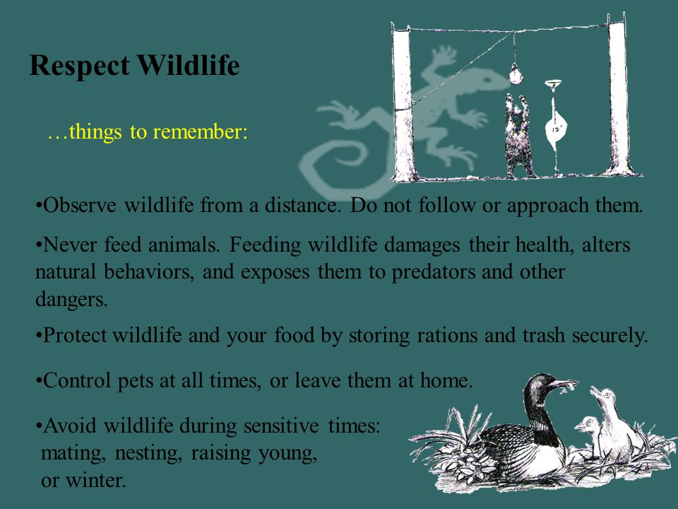 """6a. Respect Wildlife Bears that obtain food become """"problem bears"""" that must be relocated or killed. Feeding wildlife destroys their health, alters na"""