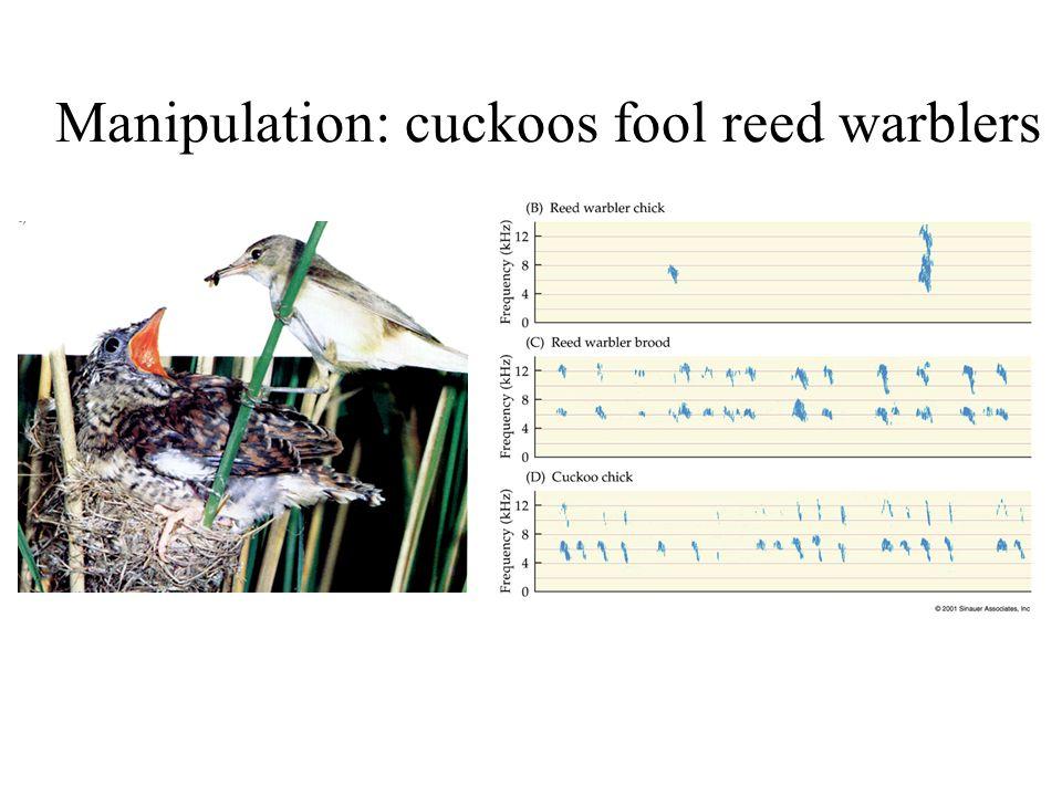 Manipulation: cuckoos fool reed warblers