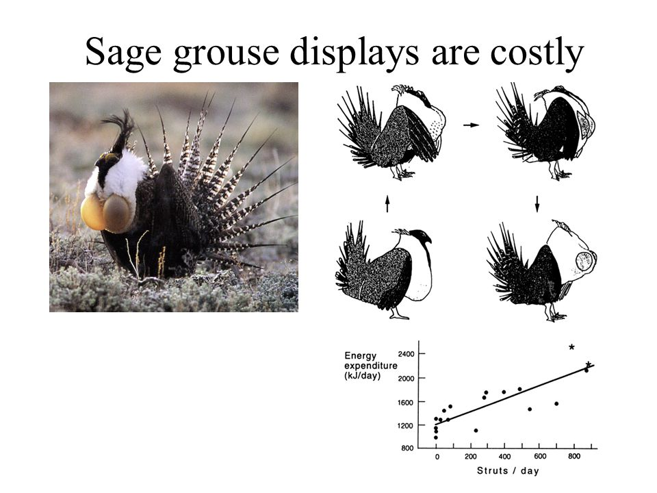 Sage grouse displays are costly