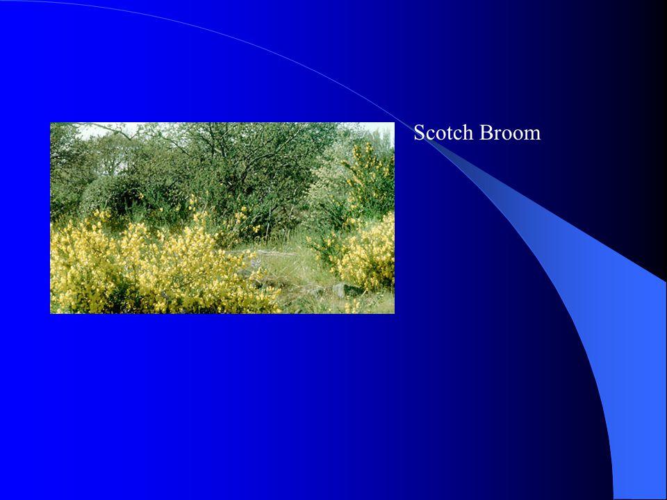 Scotch Broom