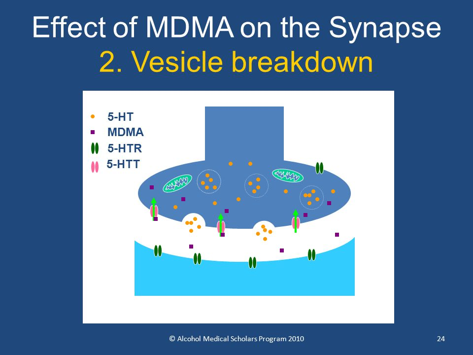 24 Effect of MDMA on the Synapse 2.