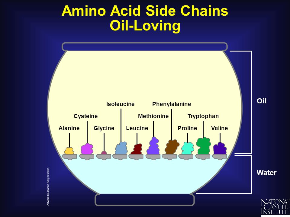 Amino Acid Side Chains Oil-Loving Alanine Water Oil Methionine Phenylalanine Proline CysteineTryptophan LeucineGlycineValine Isoleucine