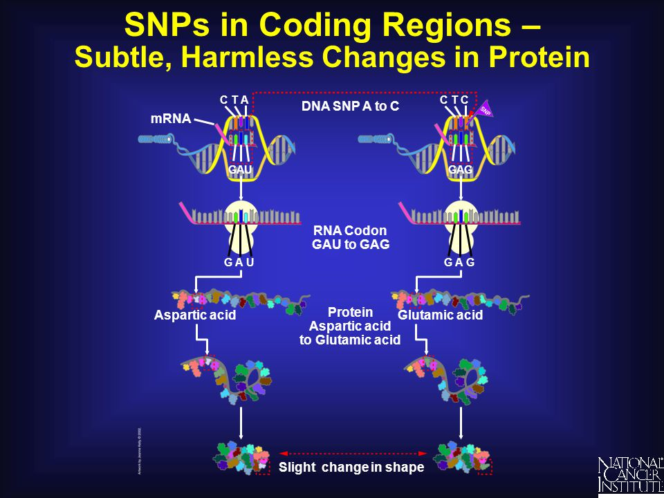 SNPs in Coding Regions – Subtle, Harmless Changes in Protein DNA SNP A to C RNA Codon GAU to GAG Protein Aspartic acid to Glutamic acid Slight change