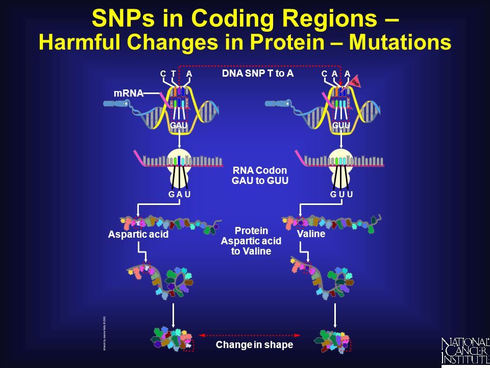 SNPs in Coding Regions – Harmful Changes in Protein – Mutations DNA SNP T to A RNA Codon GAU to GUU Protein Aspartic acid to Valine Change in shape As