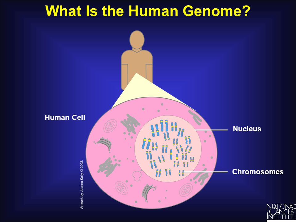 What Is the Human Genome? Human Cell Nucleus Chromosomes