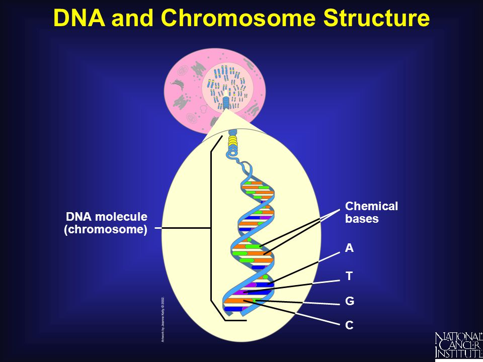 DNA and Chromosome Structure DNA molecule (chromosome) Chemical bases A T G C