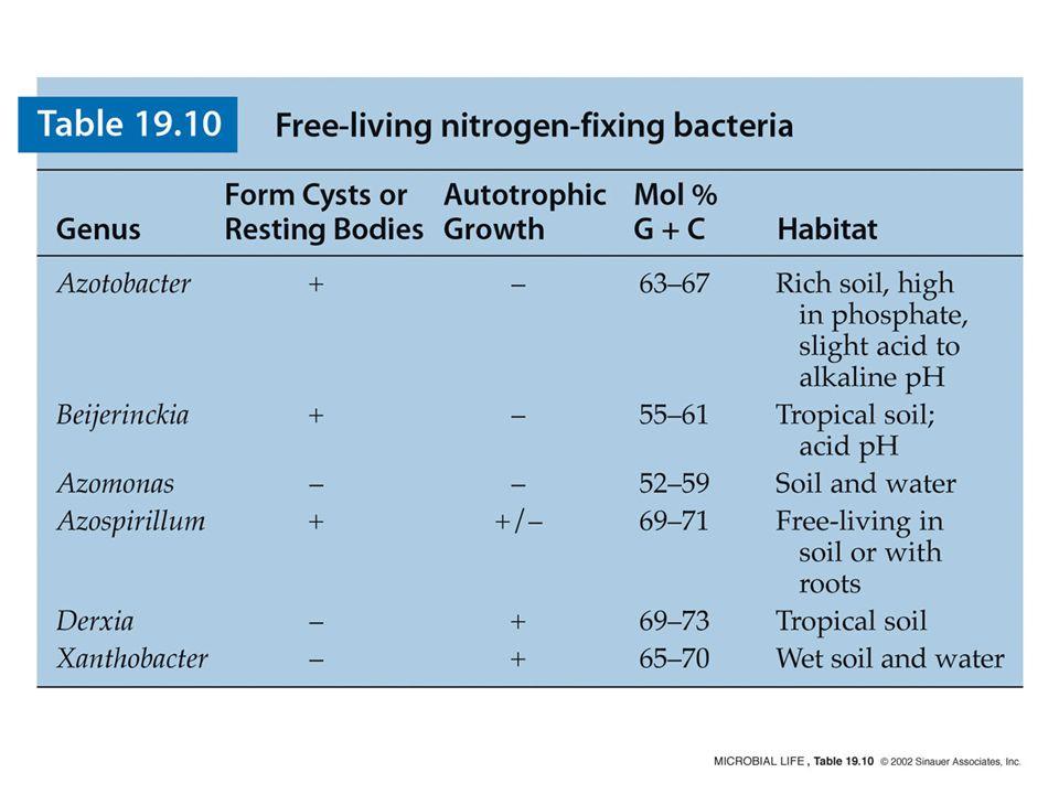 Figure 19.10 Azotobacter