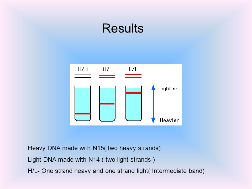 Heavy DNA made with N15( two heavy strands) Light DNA made with N14 ( two light strands ) H/L- One strand heavy and one strand light( Intermediate band) Results