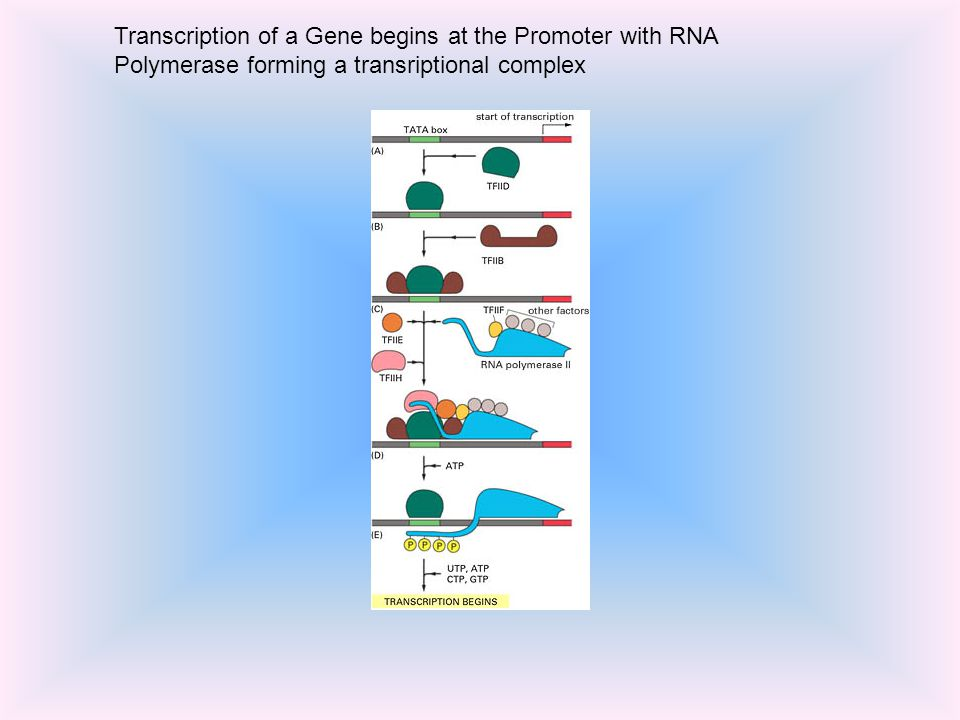 Transcription of a Gene begins at the Promoter with RNA Polymerase forming a transriptional complex