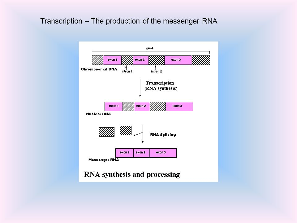 Transcription – The production of the messenger RNA