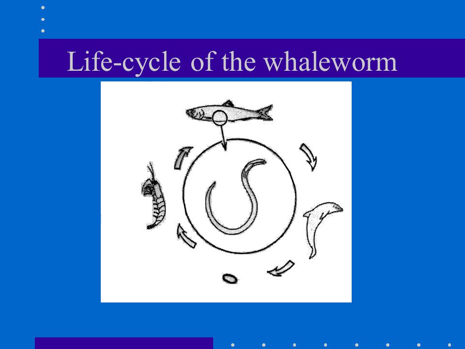 Life-cycle of the whaleworm