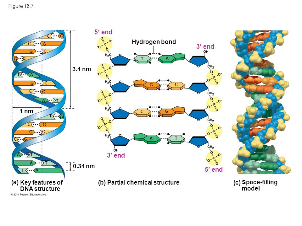 Figure 16.7 3.4 nm 1 nm 0.34 nm Hydrogen bond (a) Key features of DNA structure Space-filling model (c) (b) Partial chemical structure 3 end 5 end 3 e