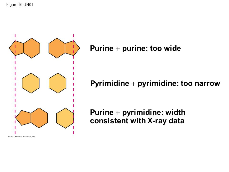 Figure 16.UN01 Purine  purine: too wide Pyrimidine  pyrimidine: too narrow Purine  pyrimidine: width consistent with X-ray data