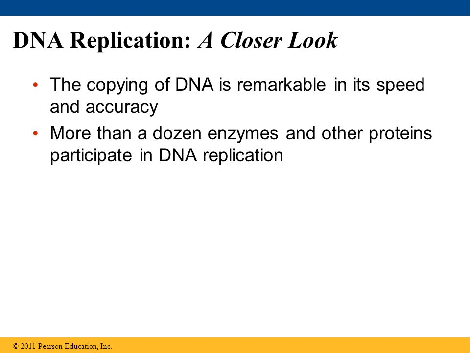 DNA Replication: A Closer Look The copying of DNA is remarkable in its speed and accuracy More than a dozen enzymes and other proteins participate in