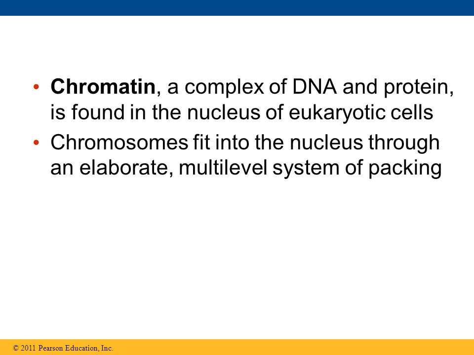 Chromatin, a complex of DNA and protein, is found in the nucleus of eukaryotic cells Chromosomes fit into the nucleus through an elaborate, multilevel