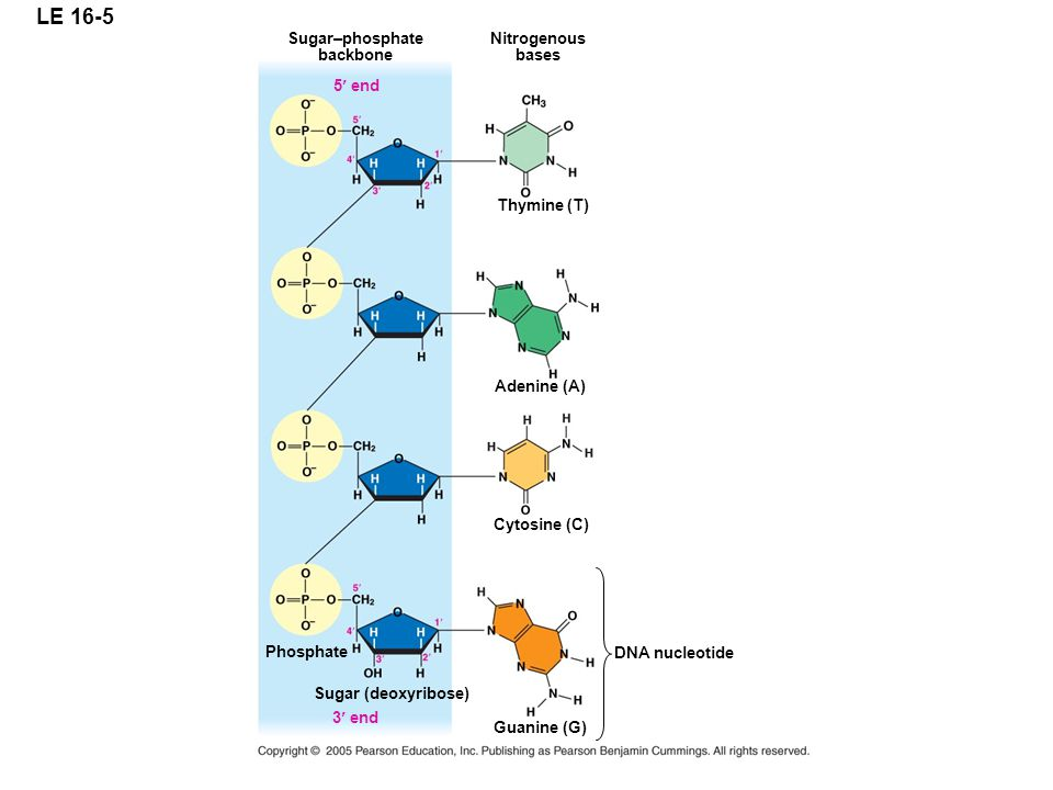 LE 16-5 Sugar–phosphate backbone 5 end Nitrogenous bases Thymine (T) Adenine (A) Cytosine (C) DNA nucleotide Phosphate 3 end Guanine (G) Sugar (deoxyribose)