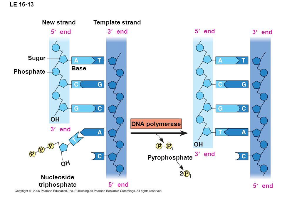 LE 16-13 New strand 5 end Phosphate Base Sugar Template strand 3 end 5 end 3 end 5 end 3 end 5 end 3 end Nucleoside triphosphate DNA polymerase Pyrophosphate