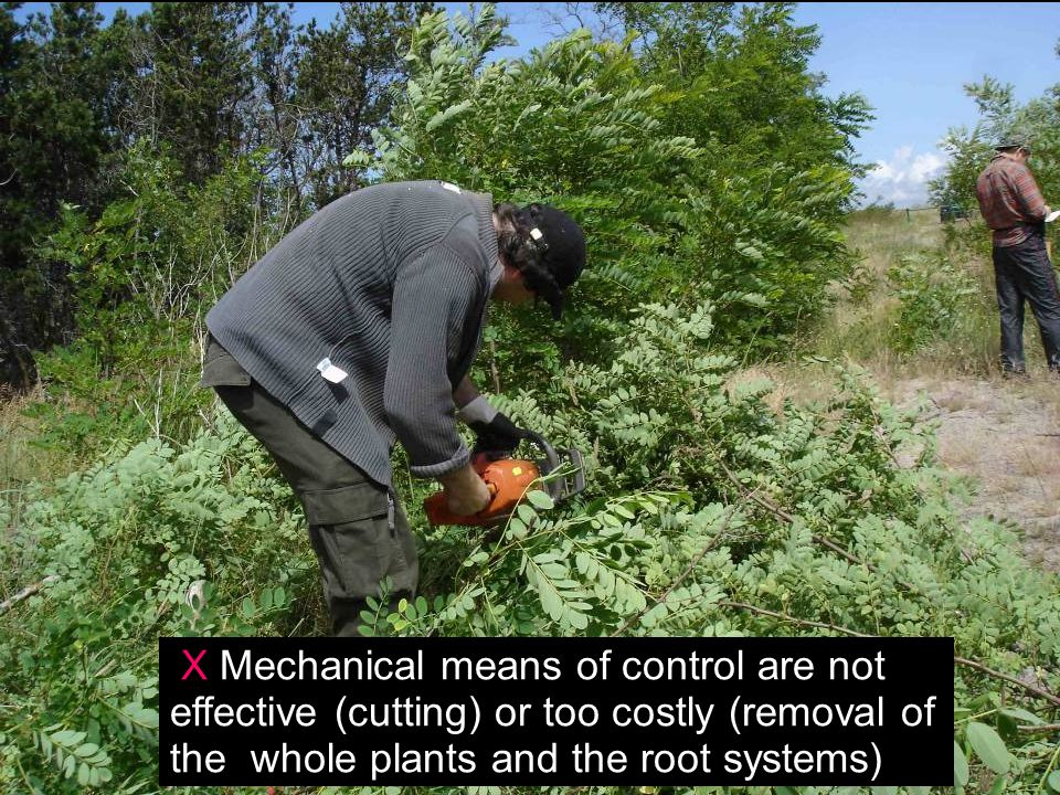 X Mechanical means of control are not effective (cutting) or too costly (removal of the whole plants and the root systems)