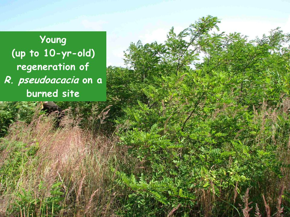 Young (up to 10-yr-old) regeneration of R. pseudoacacia Young (up to 10-yr-old) regeneration of R.