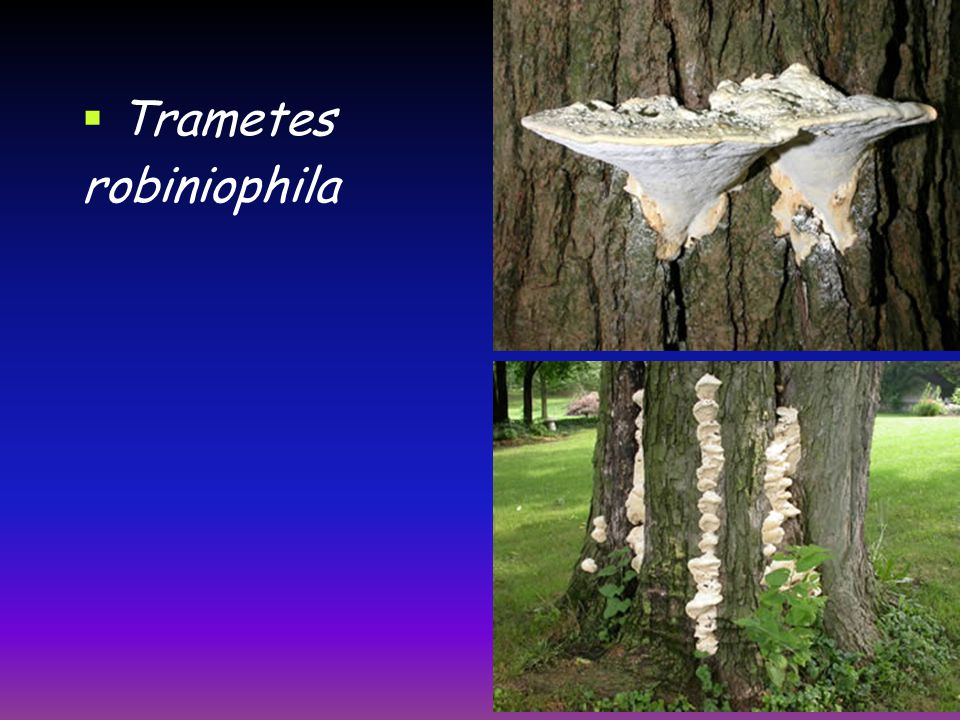  Trametes robiniophila