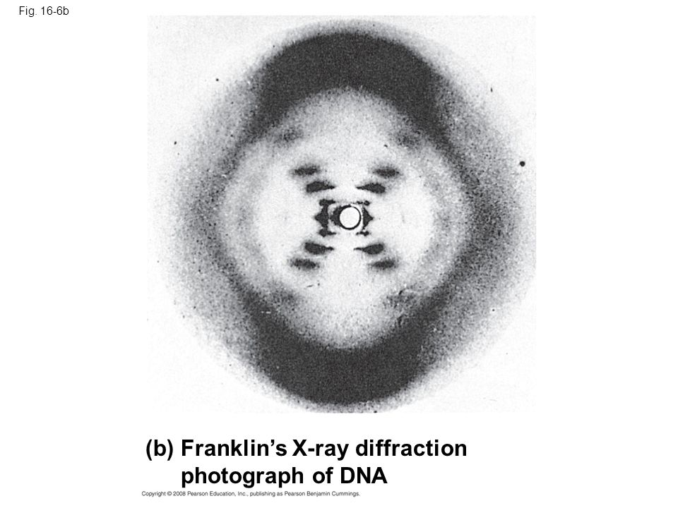 Fig. 16-6b (b) Franklin's X-ray diffraction photograph of DNA
