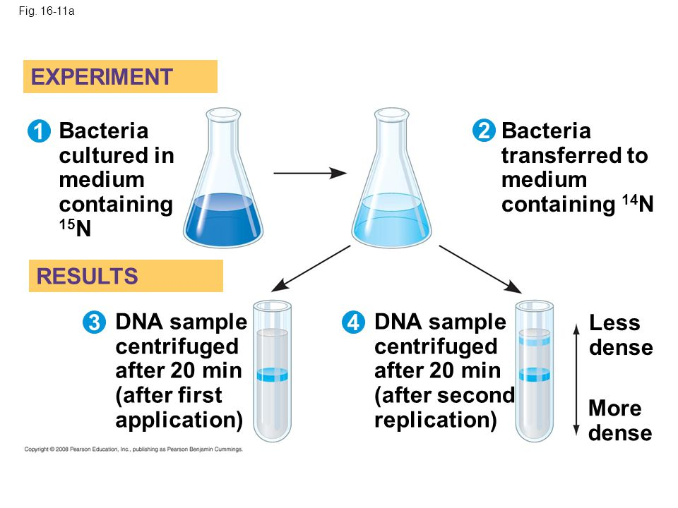 Fig. 16-11a EXPERIMENT RESULTS 1 3 2 4 Bacteria cultured in medium containing 15 N Bacteria transferred to medium containing 14 N DNA sample centrifug