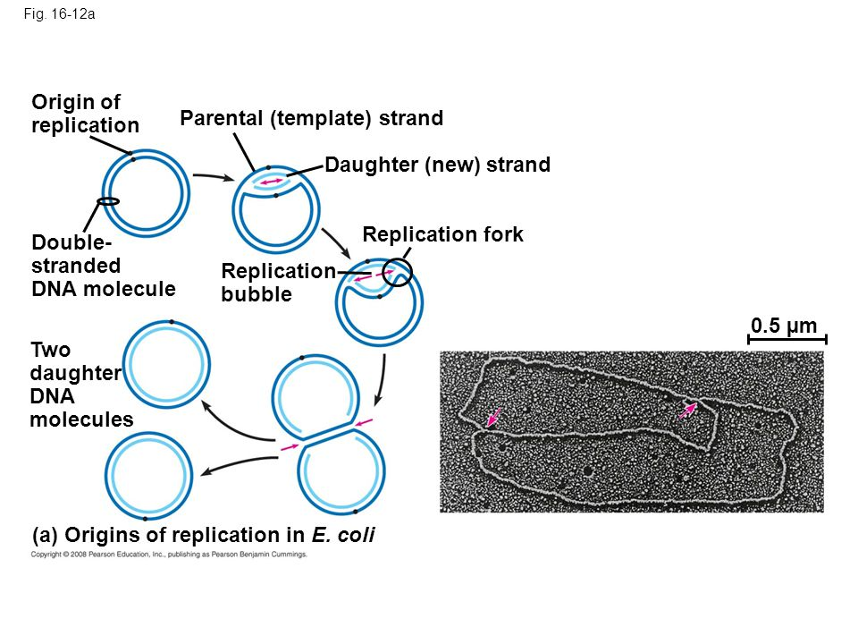 Fig. 16-12a Origin of replication Parental (template) strand Daughter (new) strand Replication fork Replication bubble Double- stranded DNA molecule T