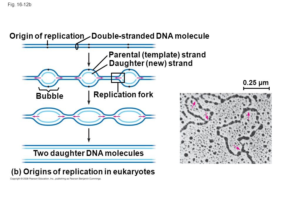 Fig. 16-12b 0.25 µm Origin of replicationDouble-stranded DNA molecule Parental (template) strand Daughter (new) strand Bubble Replication fork Two dau