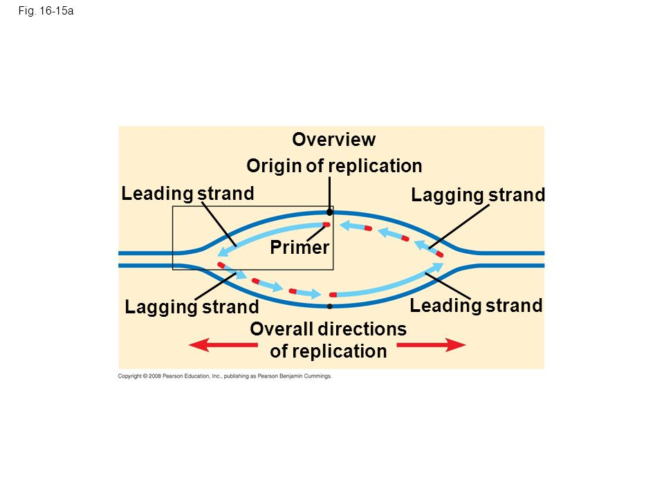 Fig. 16-15a Overview Leading strand Lagging strand Origin of replication Primer Overall directions of replication