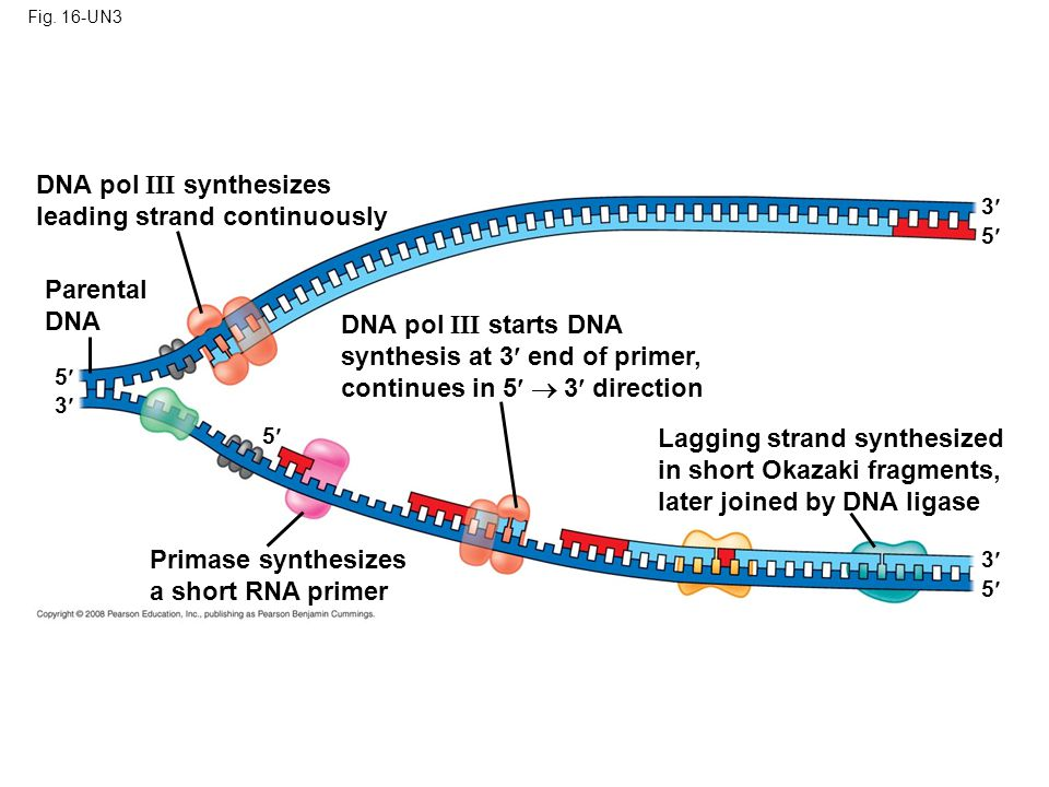 Fig. 16-UN3 DNA pol III synthesizes leading strand continuously Parental DNA DNA pol III starts DNA synthesis at 3 end of primer, continues in 5  3 d