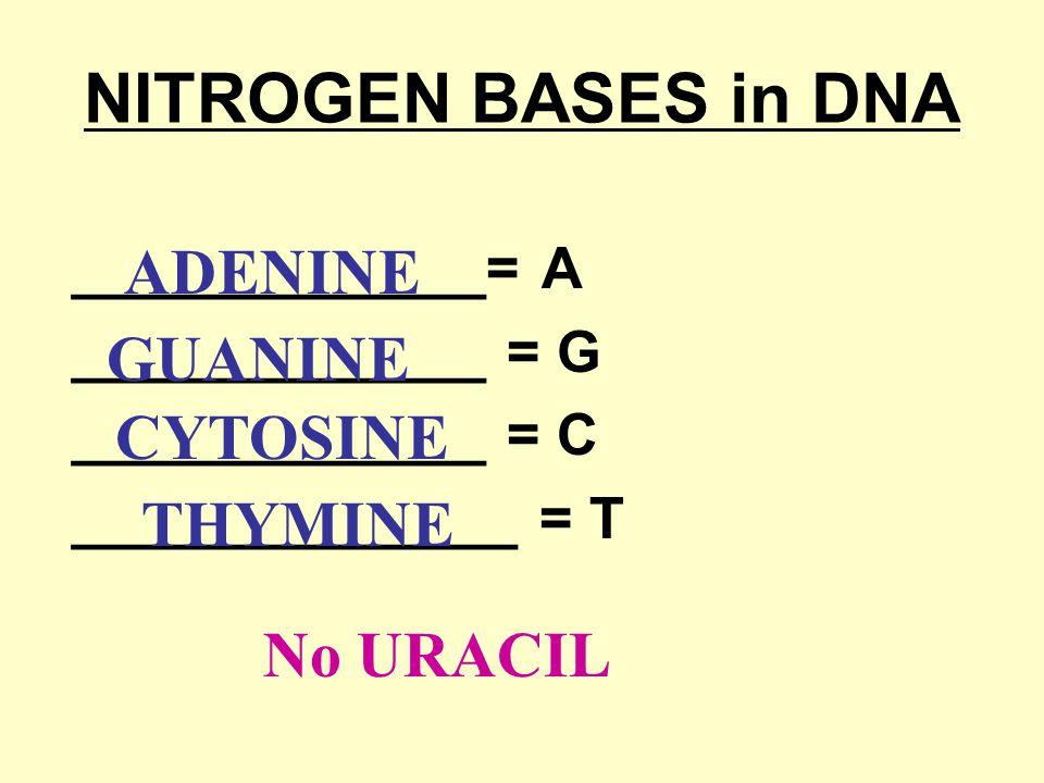 NITROGEN BASES in DNA _____________= A _____________ = G _____________ = C ______________ = T ADENINE GUANINE CYTOSINE THYMINE No URACIL