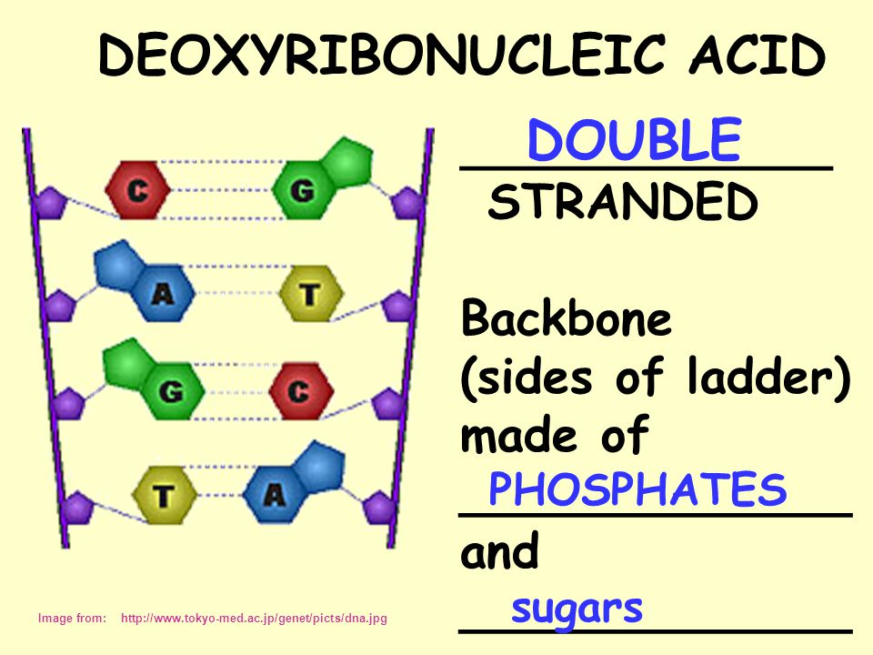DEOXYRIBONUCLEIC ACID Image from: http://www.tokyo-med.ac.jp/genet/picts/dna.jpg ______________ STRANDED Backbone (sides of ladder) made of _____________ and _____________ DOUBLE PHOSPHATES sugars