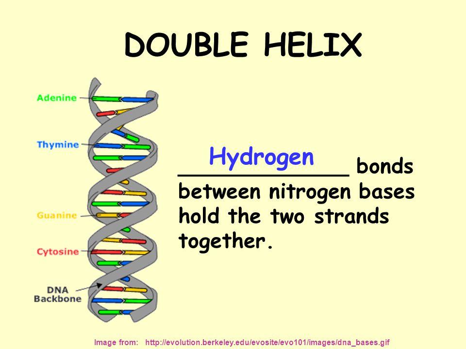 DOUBLE HELIX Hydrogen Image from: http://evolution.berkeley.edu/evosite/evo101/images/dna_bases.gif _____________ bonds between nitrogen bases hold the two strands together.