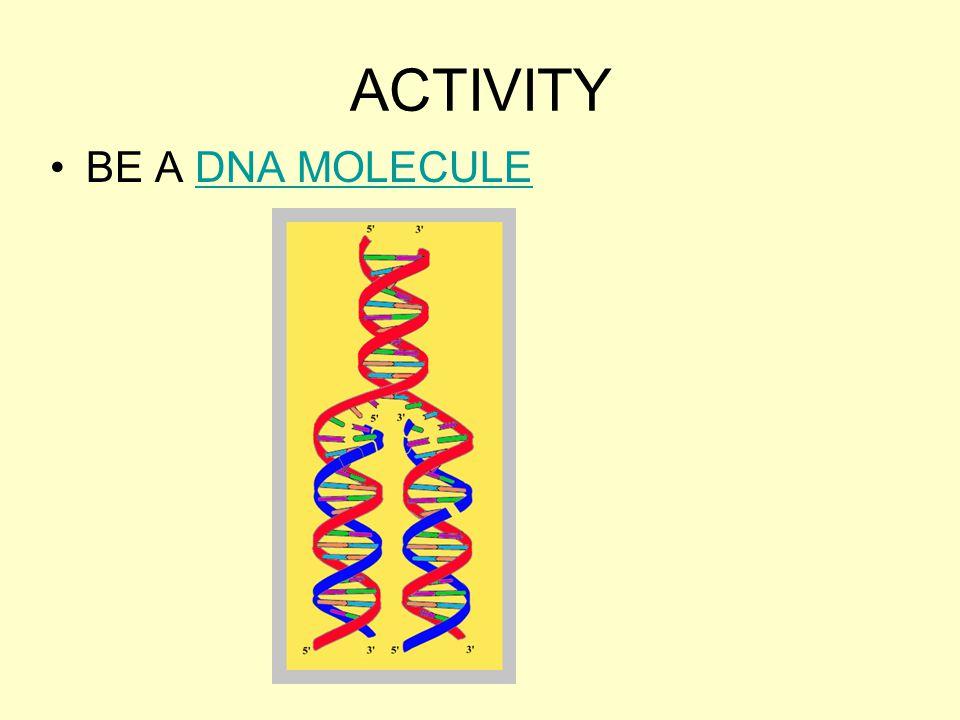 ACTIVITY BE A DNA MOLECULEDNA MOLECULE