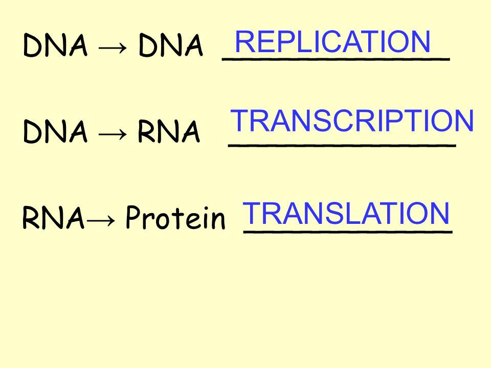 DNA → DNA ____________ DNA → RNA ____________ RNA → Protein ___________ REPLICATION TRANSCRIPTION TRANSLATION