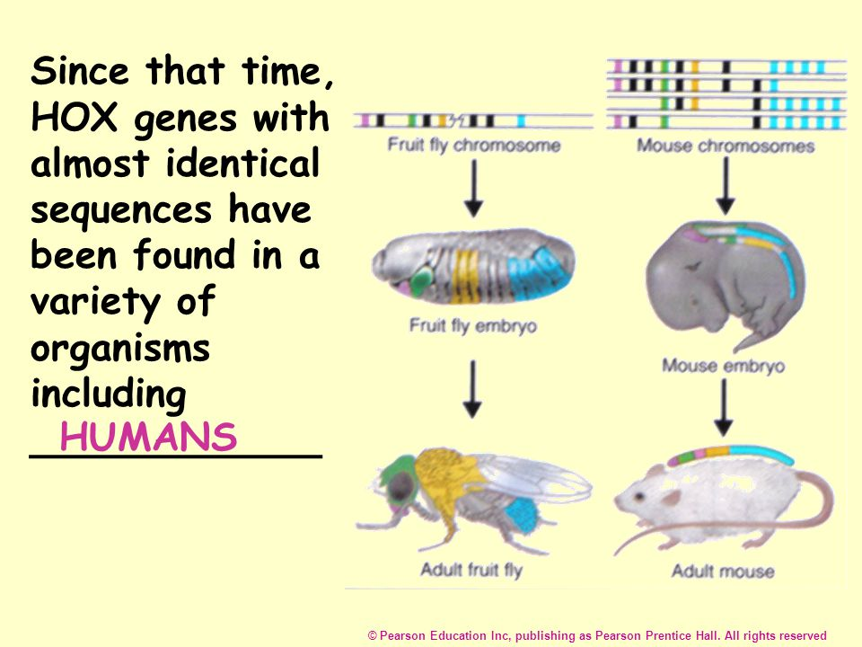 Since that time, HOX genes with almost identical sequences have been found in a variety of organisms including ____________ HUMANS © Pearson Education Inc, publishing as Pearson Prentice Hall.