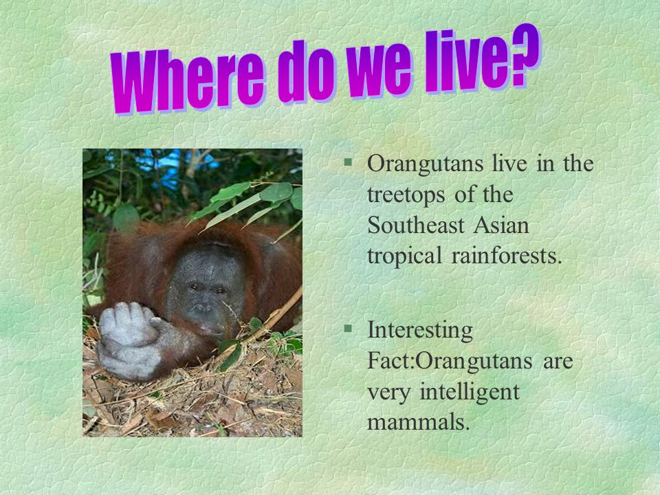 §O§Orangutans live in the treetops of the Southeast Asian tropical rainforests. §I§Interesting Fact:Orangutans are very intelligent mammals.