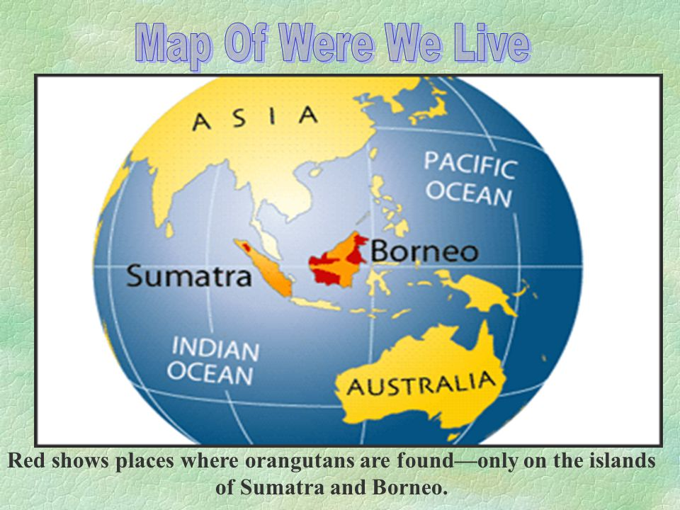 Red shows places where orangutans are found—only on the islands of Sumatra and Borneo.