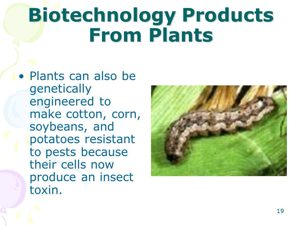 Biotechnology Products From Plants Plants can also be genetically engineered to make cotton, corn, soybeans, and potatoes resistant to pests because t