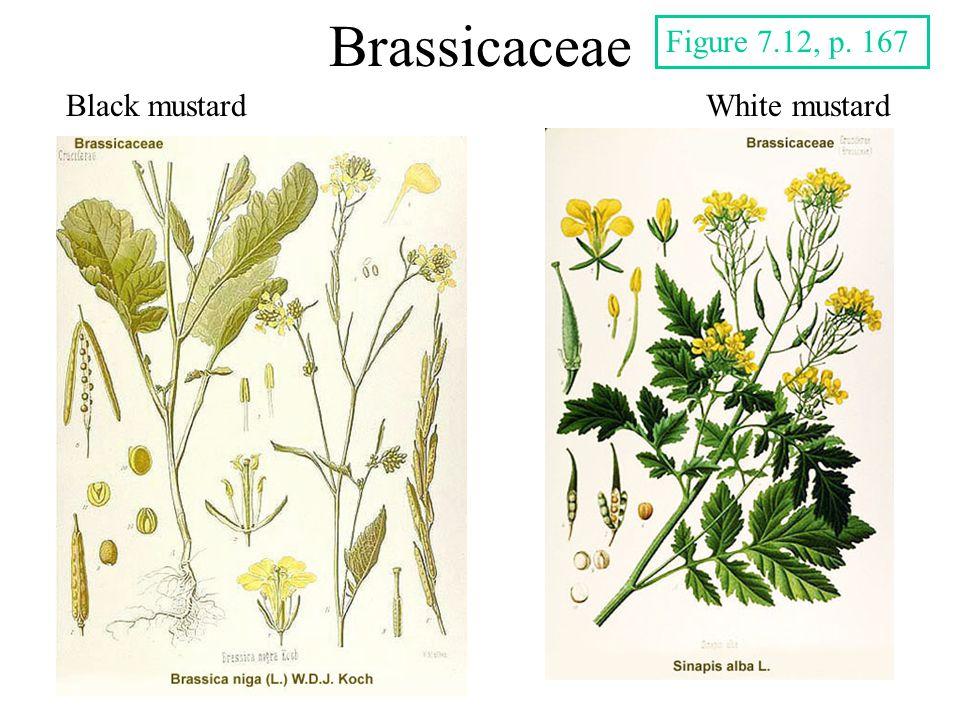 Brassicaceae Black mustardWhite mustard Figure 7.12, p. 167