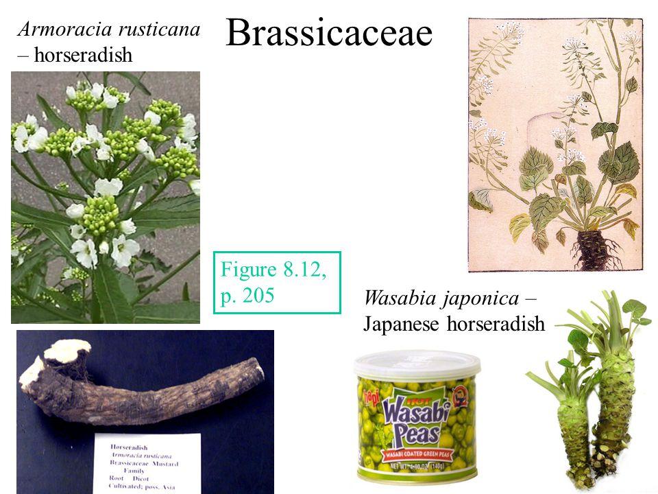 Brassicaceae Armoracia rusticana – horseradish Figure 8.12, p.