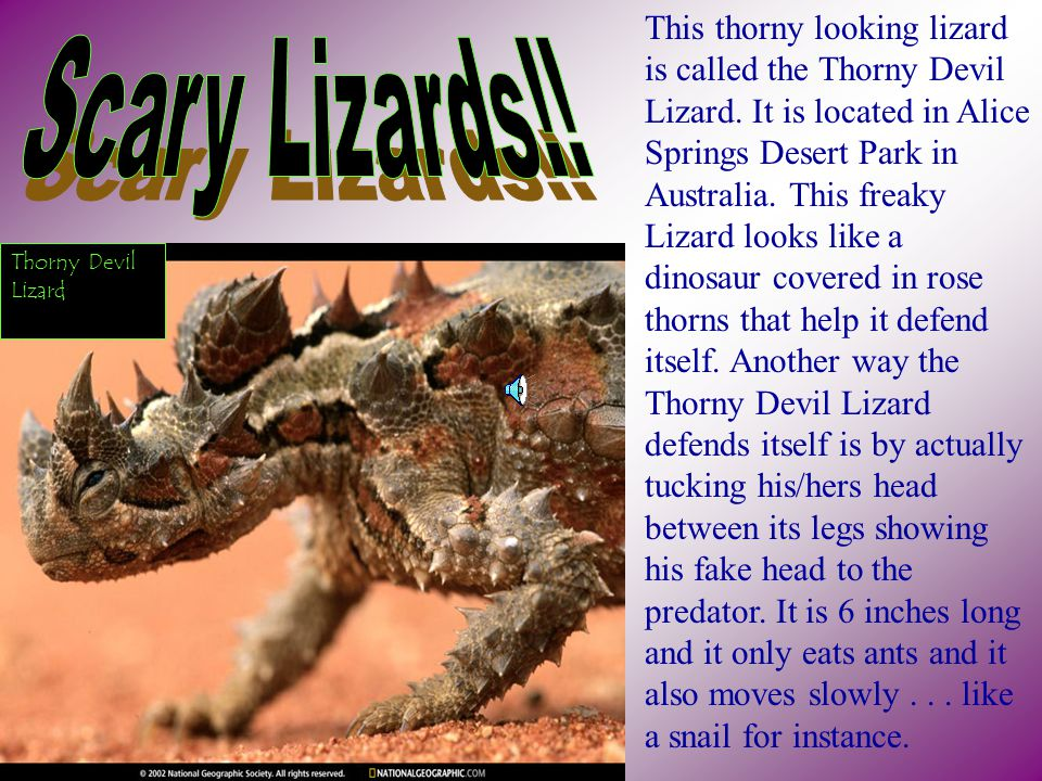 This thorny looking lizard is called the Thorny Devil Lizard.